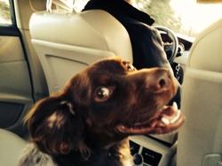 Hutch, chien Épagneul breton
