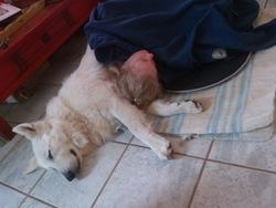 Hutch, chien Berger blanc suisse