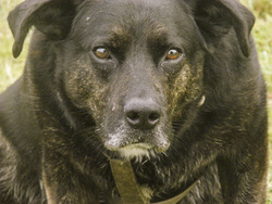 Hutch, chien Labrador Retriever
