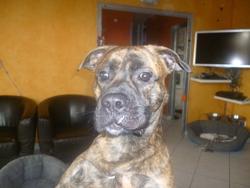 Hutch, chien Boxer
