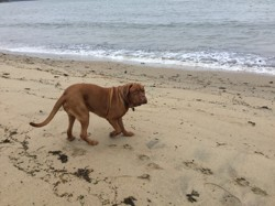 Hutch, chien Dogue de Bordeaux