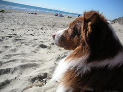 Hutch, chien Berger australien