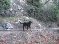 Hutch, chien Beauceron