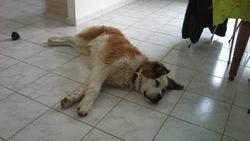 Hutch, chien Saint-Bernard