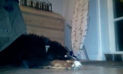 Hutch, chien Bouvier bernois