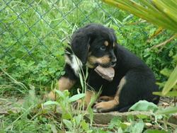 Hutch, chien