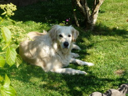 Hyades, chien Golden Retriever