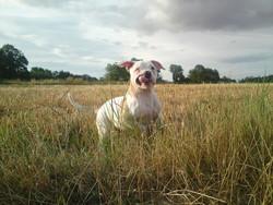 Hyadess, chien Bulldog