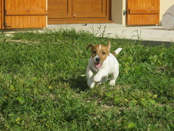Hyago, chien Jack Russell Terrier