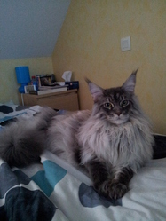 Hyakari, chat Maine Coon