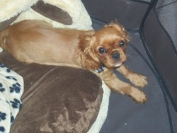 Hyako, chien Cavalier King Charles Spaniel