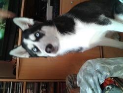 Hyango, chien Husky sibérien