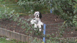Hydess, chien Setter anglais