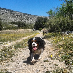 Hydille, chien Cavalier King Charles Spaniel