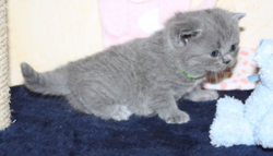 Hydra, chat British Shorthair