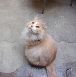 Hydromel, chat Norvégien