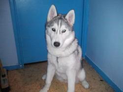 Hyenko, chien Husky sibérien