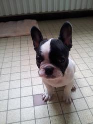Hyka, chien Bouledogue français