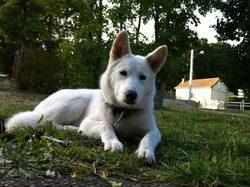 Hylia, chien