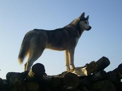 Hylia, chien Husky sibérien