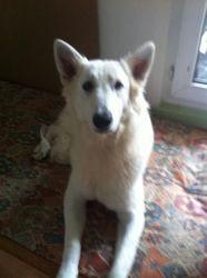 Hylli, chien Berger blanc suisse