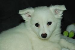 Hylou, chien Spitz allemand