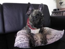 Hymothep, chien Bouledogue français