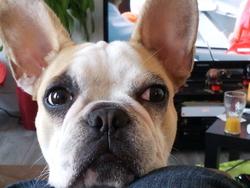 Hynna, chien Bouledogue français