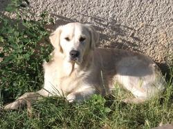 Hyno, chien Golden Retriever