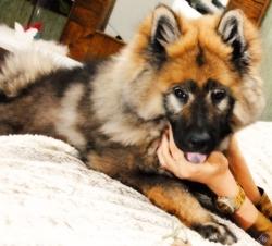 Hyoko, chien Eurasier