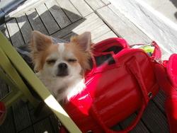 Hyoko, chien Chihuahua