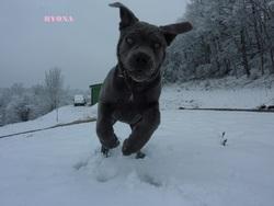 Hyona, chien Cane Corso