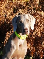Hyona, chien Braque de Weimar