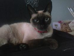 Hyona, chat Siamois