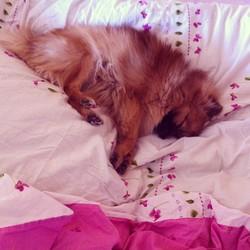 Hyouki, chien Spitz allemand