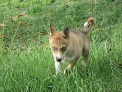 Hyoumi, chien Husky sibérien
