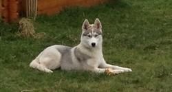 Hyouna, chien Husky sibérien