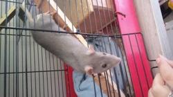 Hypathie, rongeur Rat