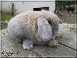 Hypnose, rongeur Lapin