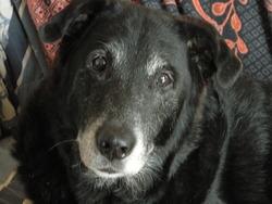Hypo, chien Labrador Retriever