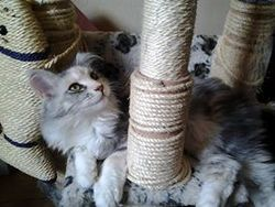 Hypsie, chat Maine Coon