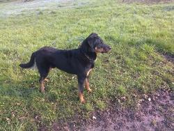 Hypso, chien Beauceron