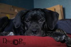 Hypso, chien Cane Corso