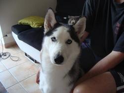 Hypso, chien Husky sibérien