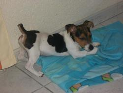 Hypso, chien Jack Russell Terrier