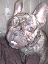 Hypso, chien Bouledogue français
