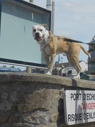 Hypsow, chien Bulldog