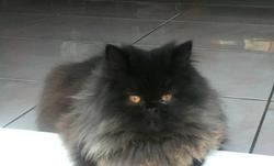 Hypsso , chat Persan