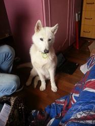 Hyria, chien Husky sibérien