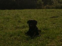 Hyro, chien Cane Corso